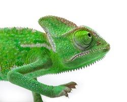 Green Juvenile Veil Chameleon lizard isolated on white back ground - Closeup