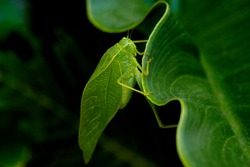 Green Katydid grasshopper on a dark green leaf in the garden.