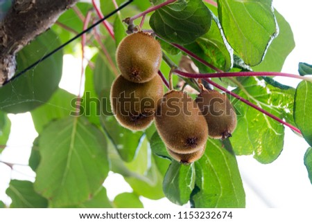 Green kiwis ripen on a tree. Kiwis on a branch. Healthy. Rich in vitamins. #1153232674
