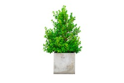 Green korean banyan tree and leaf in cement plant pot. Ornamental tree Korean banyan tree on white background