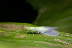 Green lacewing on the leaf. These insects are known as beneficial insects. Their larvae feed on soft-bodied insects like aphids also control many different pests. Used selective focus.