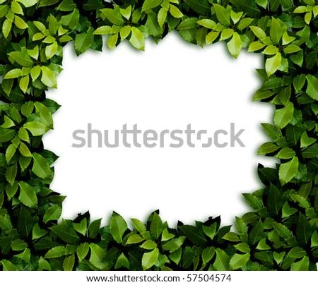 Green laurel Leaves background