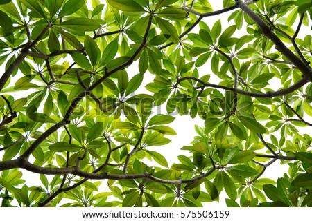 green leaf #575506159