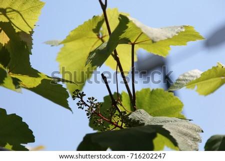 green leaf #716202247