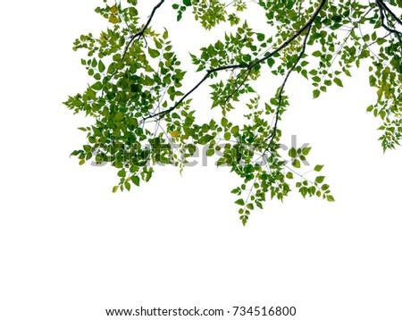 Green leaf and branches on white background #734516800