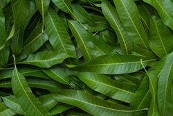 Green leaf background, Mango leaf background
