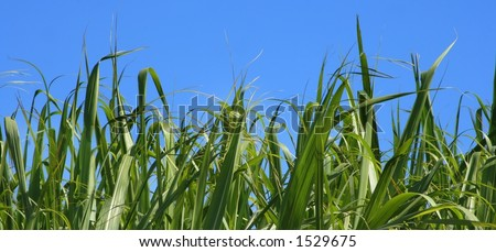 Green leaf blades against pure blue sky