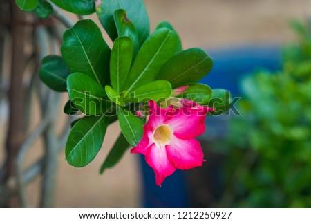 Green Leaf Blossom Chom Phu flowers beautiful. #1212250927