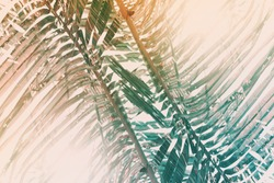 Green leaf coconut palm tree morning sunlight. Green abstract pattern background. Tropical climate. Exotic vintage wallpaper. High resolution. Mirror reflection effect.