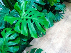 Green leaf for background. Fresh leaves of Monstera philodendron the evergreen tropical forest plant growing in garden near wood floor with light reflection, closeup