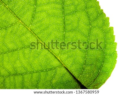Green leaf fresh detailed rugged surface structure extreme macro closeup photo with diagonal midrib, leaf veins grooves  detailed pattern nature texture eco green biology isolated white background.
