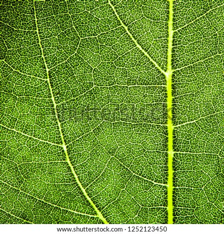 Green leaf fresh detailed rugged surface structure extreme macro closeup photo with midrib, leaf veins and grooves as a nature texture eco green biology background. Square format.