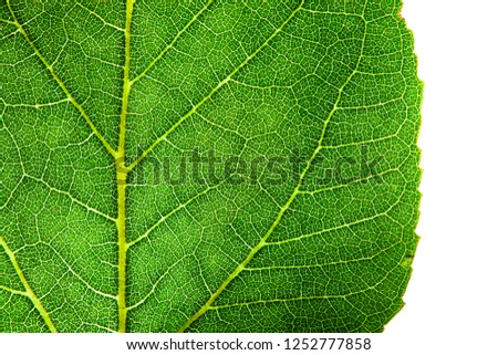 Green leaf fresh detailed rugged surface structure extreme macro closeup photo with midrib, leaf veins and grooves as a detailed pattern nature texture eco green biology isolated white background.