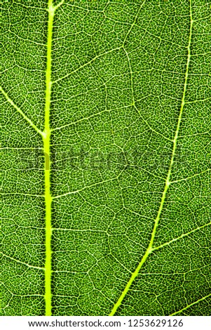 Green leaf fresh detailed rugged surface structure extreme macro closeup photo with midrib, leaf veins and grooves as a nature texture eco green biology background. Vertical format.