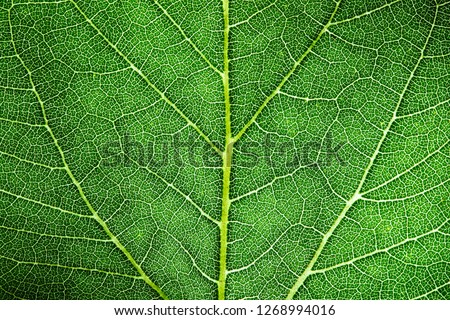 Green leaf fresh detailed rugged surface structure extreme macro closeup photo with midrib, leaf veins and grooves as a detailed intricate pattern natural texture eco green biology background.