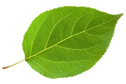 Green leaf. Isolated on a white.