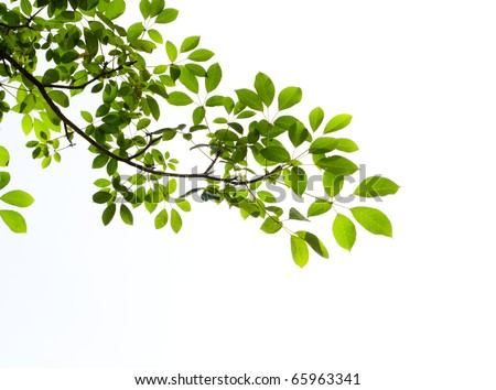 green leaf isolated on white background #65963341
