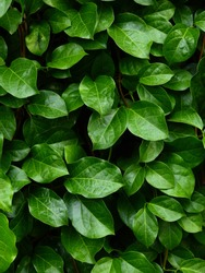 green leaf, ivy plant texture