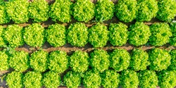 Green leaf lettuce on garden bed in vegetable field.  Gardening  background with many  lettuce green plants, top view. Lactuca sativa green leaves, closeup. Leaf Lettuce plantation, top view