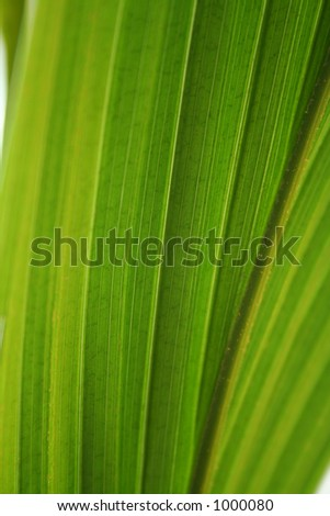 Green leaf of a coconut palm.