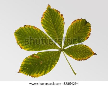 Green leaf of chestnut tree