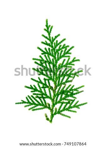 Green leaf of Chimese Arborvitae or Orientali Arborvitae tree. (Thuja orientalis Endl) #749107864