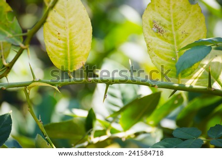 Green leaf of citrus-tree on branch with thorns