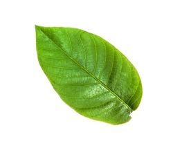 green leaf of Common Walnut tree (Juglans regia, Persian Walnut, English Walnut) isolated on white background