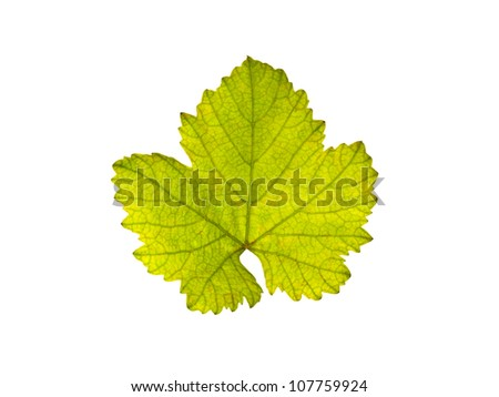 Green leaf of grape isolated on white