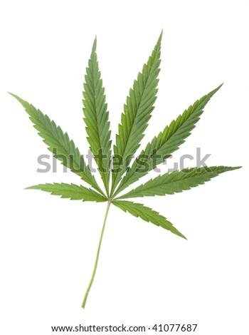 Green leaf of Hemp (Cannabis, marijuana) isolated on the white Background.