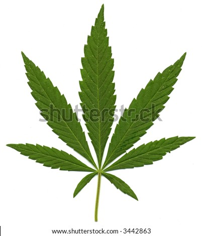 Green leaf of Hemp (Cannabis,  marijuana) isolated on the white Background. High resolution.