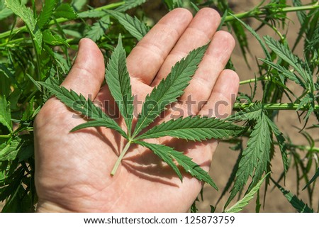 green leaf of marijuana in a hand - stock photo