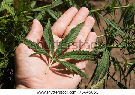 green leaf of marijuana in a hand