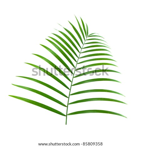 green leaf of palm isolated on white background
