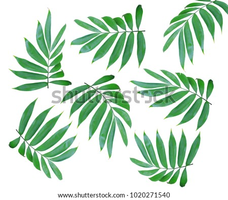 green leaf of palm tree isolated on white background #1020271540