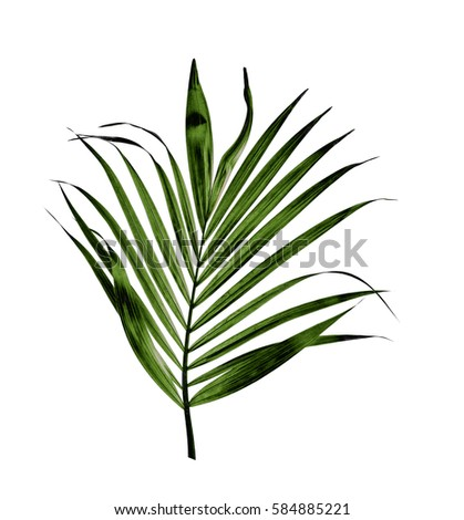 green leaf of palm tree isolated on white background #584885221