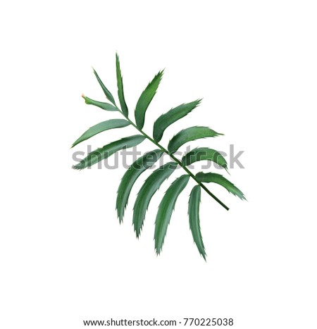 green leaf of palm tree isolated on white background - Shutterstock ID 770225038