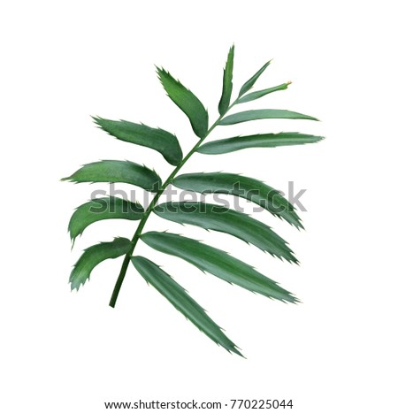 green leaf of palm tree isolated on white background - Shutterstock ID 770225044