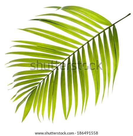 Green leaf of palm tree on white background #186491558