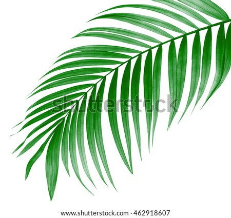 green leaf of palm tree on white background #462918607