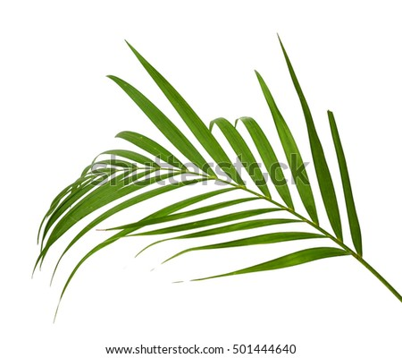 Green leaf of palm tree on white background #501444640