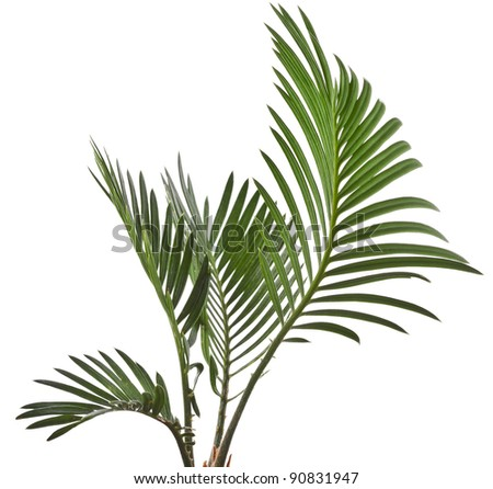 Green leaf of palm tree on white background #90831947