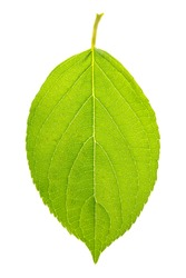 Green leaf of the hydrangea or hortensia (hydrangia paniculata 'limelight'), isolated on a white background.