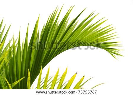 Green leaf of tropical palm tree