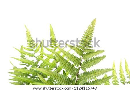 green leaf of young fresh fern horizontal on white background #1124115749