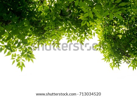 green leaf on the branches isolate on white background