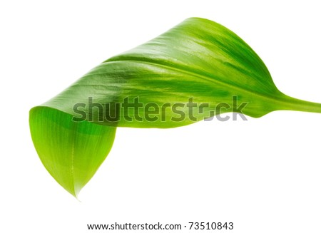 green leaf on white background - stock photo