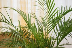 Green leaf palm potted plants in stylish room interior. Background house plant leaves of Monstera plant with curls. Leave growing rainforest zone in interiors. Concept of greening of home space
