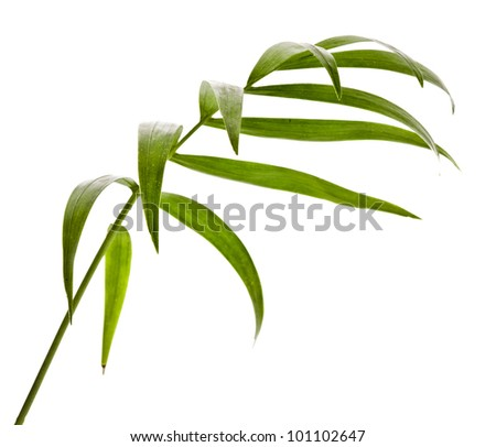 Green Leaf  Palm Tree (Howea ) isolated on white background.