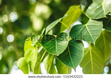 Green leaf Pho leaf, (bo leaf,bothi leaf) #1163432221